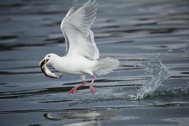 Glaucous-winged Gull (Larus glaucescens) carrying herring prey, Alaska