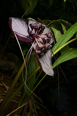 Bornean Bat Flower (Tacca borneensis) flowers, which generate their own heat to aid in pollination, Kasai, Batang Ai National Park, Malaysia  -  Ch'ien Lee
