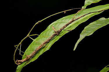 Stick Insect (Phasmatidae) pair mating, Gunung Penrissen, Borneo, Malaysia  -  Ch'ien Lee