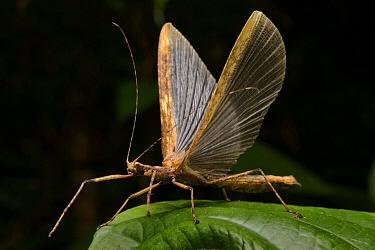 Stick Insect (Diapheromeridae) taking flight, Gunung Penrissen, Borneo, Malaysia  -  Ch'ien Lee
