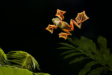 Wallace's Flying Frog (Rhacophorus nigropalmatus) gliding, Danum Valley Field Center, Sabah, Borneo, Malaysia  -  Ch'ien Lee