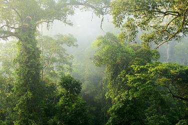 Primary rainforest in mist, Danum Valley Field Center, Sabah, Borneo, Malaysia  -  Ch'ien Lee
