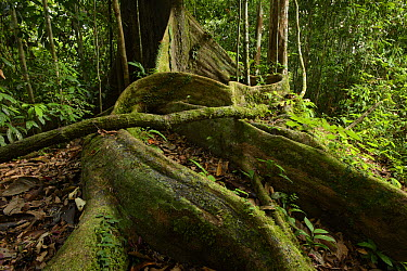 White Lauan (Parashorea malaanonan) buttress roots, Danum Valley Field Center, Sabah, Borneo, Malaysia  -  Ch'ien Lee