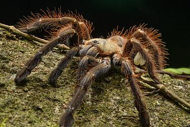 Tarantula (Phormingochilus everetti), Danum Valley Field Center, Sabah, Borneo, Malaysia  -  Ch'ien Lee