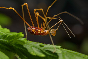 Harvestman with trap-like pedipalps, Danum Valley Field Center, Sabah, Borneo, Malaysia  -  Ch'ien Lee