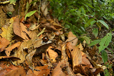 Asian Horned Frog (Megophrys nasuta) camouflaged in leaf litter, Danum Valley Field Center, Sabah, Borneo, Malaysia  -  Ch'ien Lee