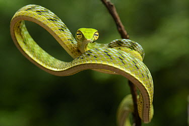 Oriental Whip Snake (Ahaetulla prasina) juvenile, Danum Valley Field Center, Sabah, Borneo, Malaysia  -  Ch'ien Lee