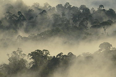 Mist rising from lowland primary forest at sunrise, Malaysia  -  Ch'ien Lee