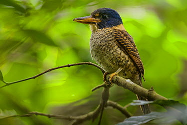 Scaly-breasted Kingfisher (Actenoides princeps), Indonesia  -  Ch'ien Lee