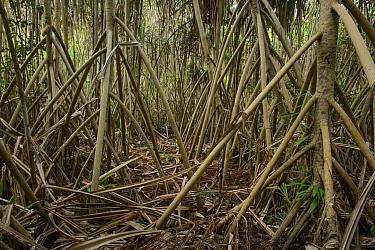 Screw Pine (Pandanus sp) stilt roots, Weda Bay, Sulawesi, Indonesia  -  Ch'ien Lee
