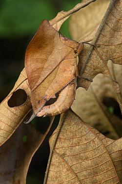Grasshopper (Chorotypus sp) mimicking leaf, Malaysia  -  Ch'ien Lee