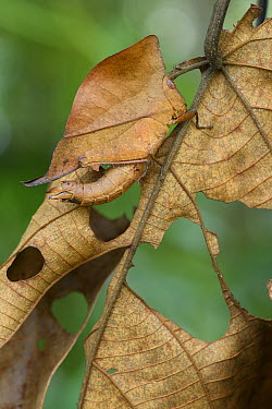 Grasshopper (Chorotypus sp) mimicking leaf, Malaysia  -  Ch'ien Lee
