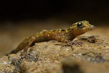 Limestone Gecko (Cnemaspis paripari), newly described species, Fairy Cave, Bau, Sarawak, Borneo, Malaysia  -  Ch'ien Lee