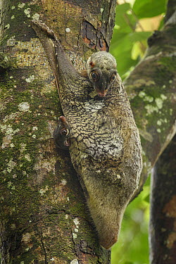 Sunda Flying Lemur (Galeopterus variegatus) mother with young, Malaysia  -  Ch'ien Lee