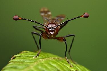 Stalk-eyed Fly (Teleopsis sp), Taman Stutong Indah, Kuching, Sarawak, Borneo, Malaysia  -  Ch'ien Lee
