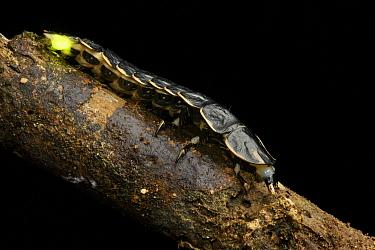 Glow Worm (Lamprigera sp) neotenic female, Gunung Penrissen, Borneo, Malaysia  -  Ch'ien Lee