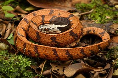 Malayan Slug Snake (Asthenodipsas borneensis) juvenile, new species described in 2020, Malaysia  -  Ch'ien Lee
