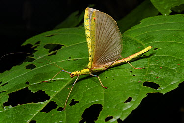 Stick Insect (Calvisia marmorata) with wings raised in defensive posture, Malaysia  -  Ch'ien Lee