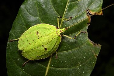 Katydid (Despoena spinosa) male, Malaysia  -  Ch'ien Lee
