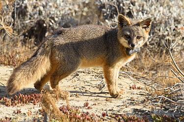 Island Fox (Urocyon littoralis) with radio collar, California  -  Ch'ien Lee