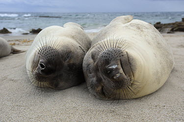 Northern Elephant Seal (Mirounga angustirostris) juveniles sleeping, California  -  Ch'ien Lee