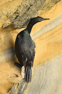 Pelagic Cormorant (Phalacrocorax pelagicus), California  -  Ch'ien Lee