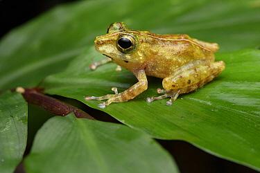 Gunung Mulu Bubble-nest Frog (Philautus tectus), Kubah National Park, Borneo, Malaysia  -  Ch'ien Lee