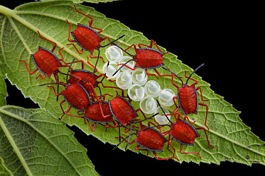Red Stink Bug (Pycanum rubeus) hatchlings cluster to amplify the effect of their aposematic warning coloration, Malaysia  -  Ch'ien Lee
