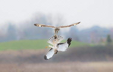 Short-eared Owl (Asio flammeus) fighting with Northern Harrier (Circus cyaneus) male over vole prey, British Columbia, Canada  -  Sean Crane