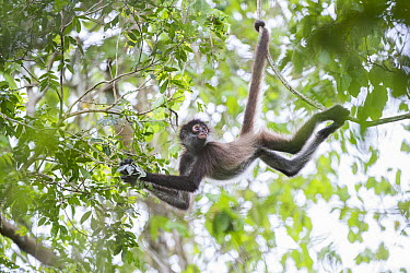 Black-handed Spider Monkey (Ateles geoffroyi) using prehensile tail as it mves through the trees, Punta Laguna Nature Reserve, Mexico  -  Sean Crane