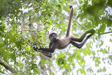 Black-handed Spider Monkey (Ateles geoffroyi) using prehensile tail as it mves through the trees, Punta Laguna Nature Reserve, Mexico  -  Sean Crane