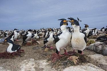 Blue-eyed Cormorant (Phalacrocorax atriceps) pair courting in colony, Sea Lion Island, Falkland Islands  -  Sean Crane