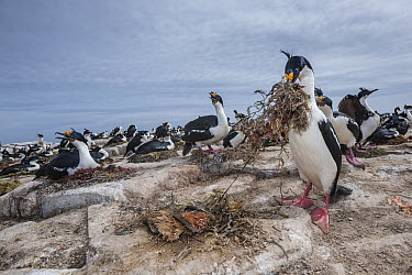 Blue-eyed Cormorant (Phalacrocorax atriceps) stealing nesting material from neighboring nest, Sea Lion Island, Falkland Islands  -  Sean Crane