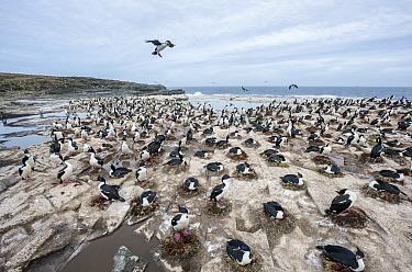 Blue-eyed Cormorant (Phalacrocorax atriceps)landing at colony, Sea Lion Island, Falkland Islands  -  Sean Crane