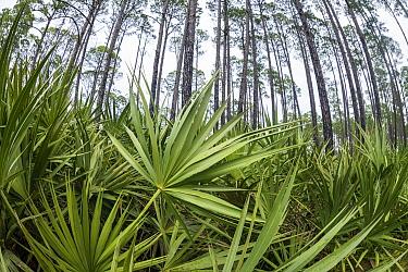 Saw Palmetto (Serenoa repens) and Pine (Pinus sp) trees, Saint Andrews State Park, Panama City Beach, Florida  -  Sean Crane