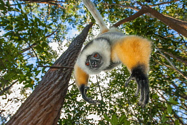Diademed Sifaka (Propithecus diadema) hanging in tree, Perinet Nature Reserve, Madagascar  -  Sean Crane