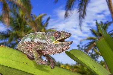Panther Chameleon (Chamaeleo pardalis) female in threat display, Masoala National Park, Madagascar  -  Sean Crane