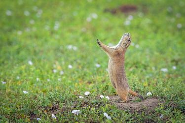 Black-tailed Prairie Dog (Cynomys ludovicianus) sounding alarm call, Badlands National Park, South Dakota  -  Sean Crane