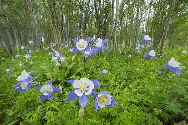 Columbine (Aquilegia sp) flowers and Birch (Betula sp) trees, northern Colorado  -  Sean Crane