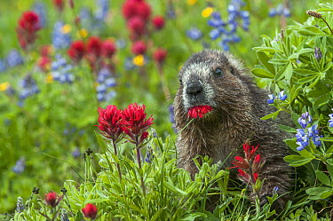 Hoary Marmot (Marmota caligata) feeding on Indian Paintbrush (Castilleja coccinea) flowers, Mount Rainier National Park, Washington  -  Sean Crane