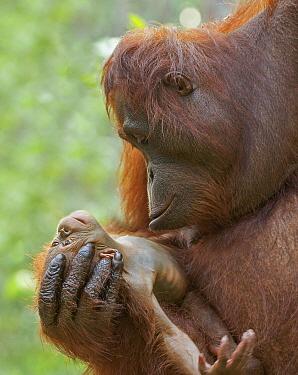 Orangutan (Pongo pygmaeus) mother and newborn, Tanjung Puting National Park, Borneo, Indonesia  -  Sean Crane