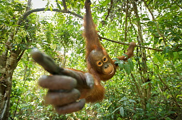Orangutan (Pongo pygmaeus) juvenile investigating camera, Tanjung Puting National Park, Borneo, Indonesia  -  Sean Crane