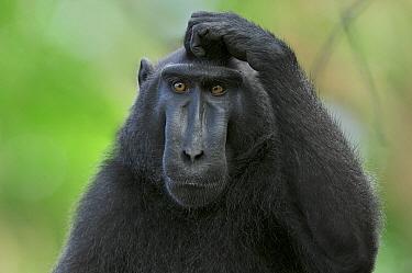 Celebes Black Macaque (Macaca nigra) scratching head, Tangkoko Nature Reserve, Sulawesi, Indonesia  -  Sean Crane