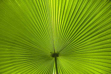 Palm frond, Tangkoko Nature Reserve, Sulawesi, Indonesia  -  Sean Crane