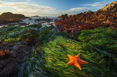 Bat Star (Asterina miniata) at low tide, Montana De Oro State Park, Los Osos, California  -  Sean Crane