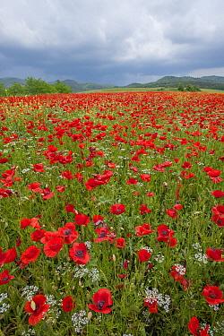 Red Poppy (Papaver rhoeas) flowers in field, Tuscany, Italy  -  Sean Crane