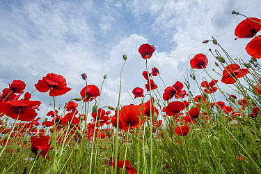 Red Poppy (Papaver rhoeas) flowers, Tuscany, Italy  -  Sean Crane