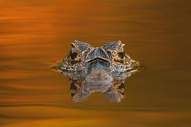 Jacare Caiman (Caiman yacare) at sunset, Pantanal, Brazil  -  Sean Crane