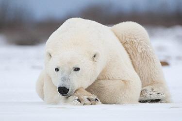 Polar Bear (Ursus maritimus) on ice, Seal River, Manitoba, Canada  -  Sean Crane