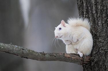 Eastern Gray Squirrel (Sciurus carolinensis) albino in tree, Illinois  -  Sean Crane